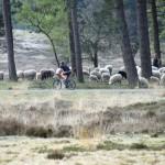 schapen op de loenermark